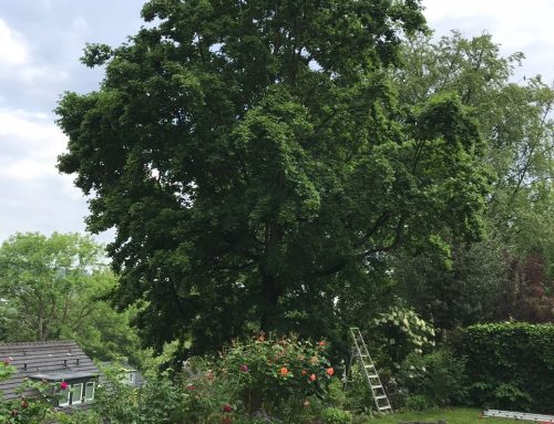 Kronenpflege und Auslichtung Feldahorn (Acer campestre) – KdNr.0003