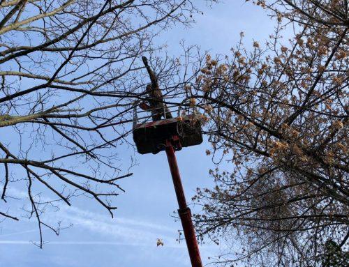 Kronenpflege Bergahorn (Acer pseudoplatanus) – KdNr.0004