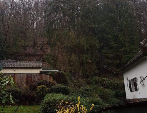 Fällung Fichte (Picea)-KdNr.0005