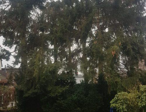 Fällung mehrfach eingekürzte Fichten (Picea)-0006