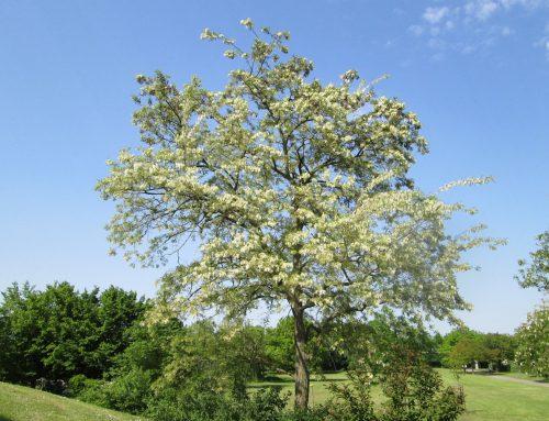 Robinie – Baum des Jahres 2020