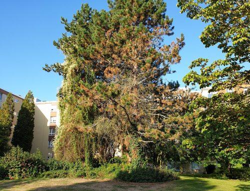 Fällung Kiefer (Pinus) – KdNr0007