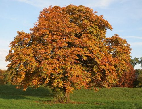 Rosskastanie – Baum des Monats November 2019