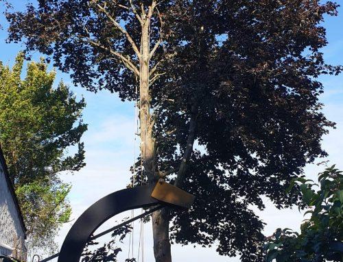 Fällung Bergahorn (Acer pseudoplatanus) – KdNr0009