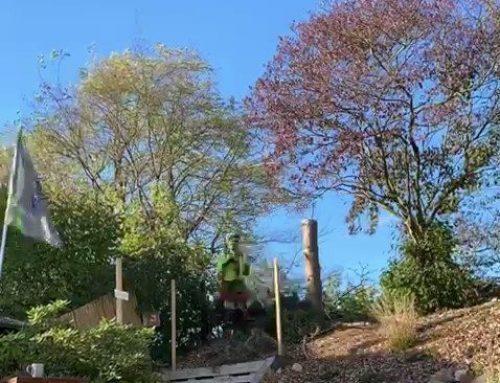 Fällung Schwarzkiefer (Pinus nigra) – KdNr 0010